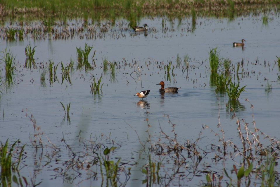 Waterfowl in Wetlands