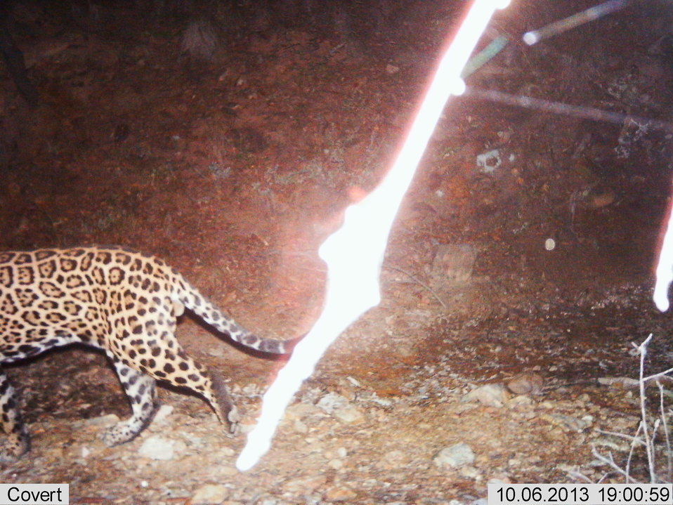 Male Jaguar