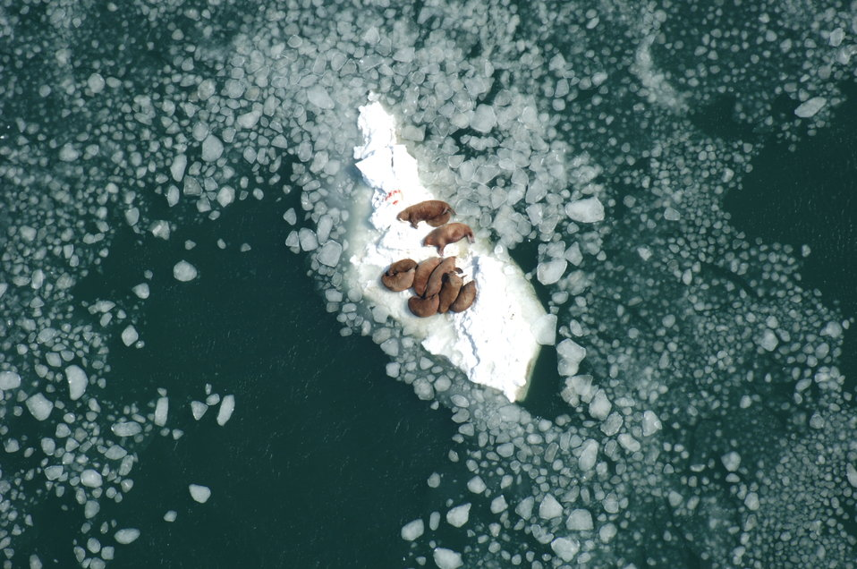 Walrus Cows on Ice Nursing Calves