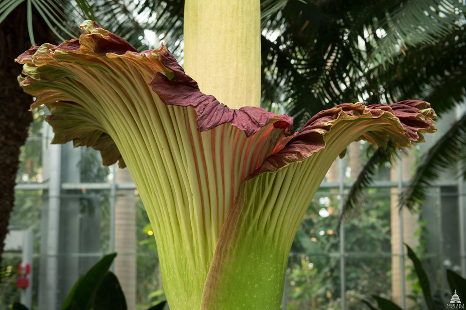 Titan arum close-up