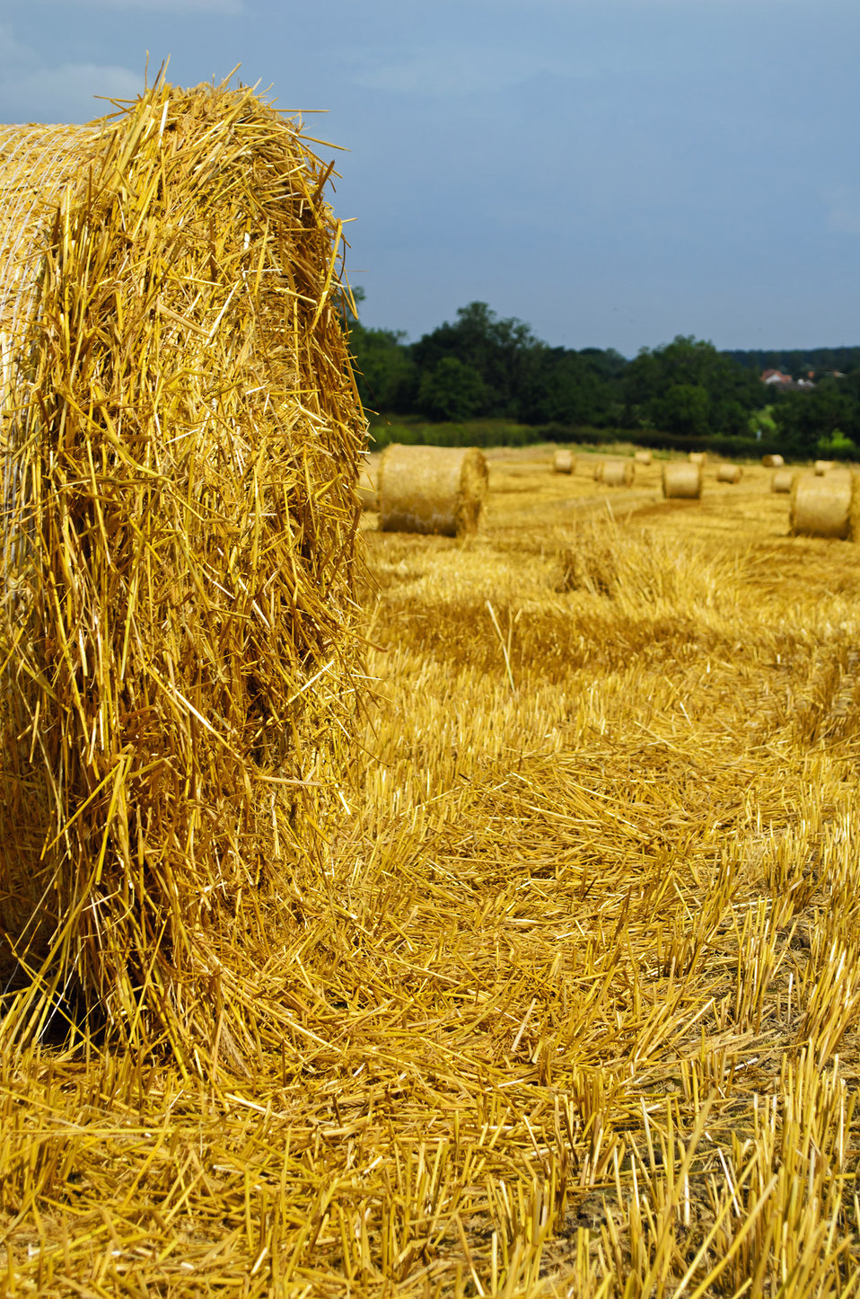 Harvested field with straw