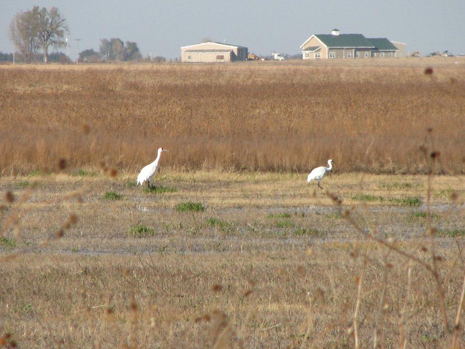 Whooping Cranes in Nebraska