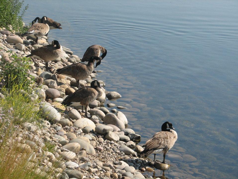 Geese on Flat Creek Shoreline