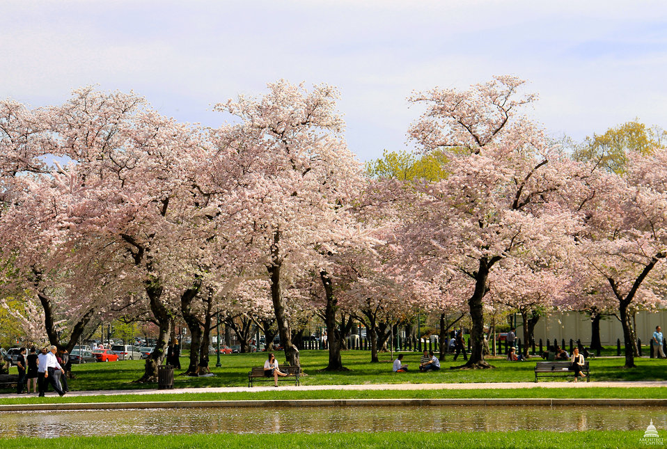 Cherry Blossoms in Bloom in Senate Park