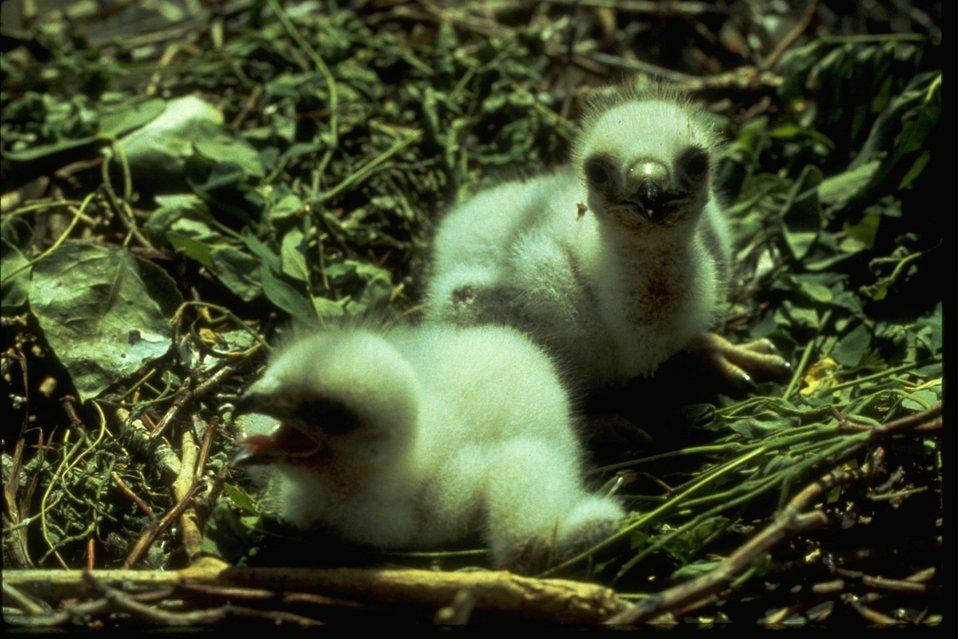 Baby hawks sitting in nest.