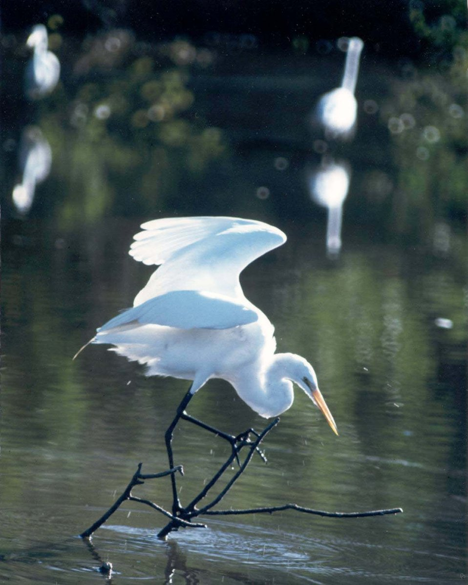 Prime Hook Great Egret