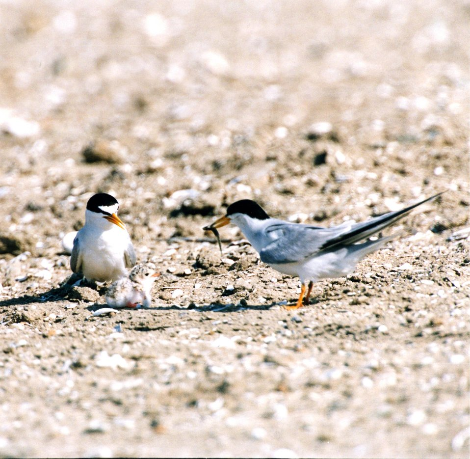 California Least tern pair feeding a banded chick