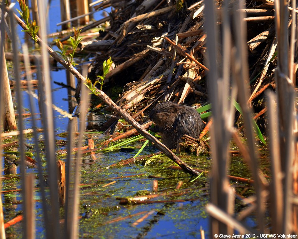 Muskrat (Ondatra zibethicus) Kit Great Meadows NWR, Concord, MA