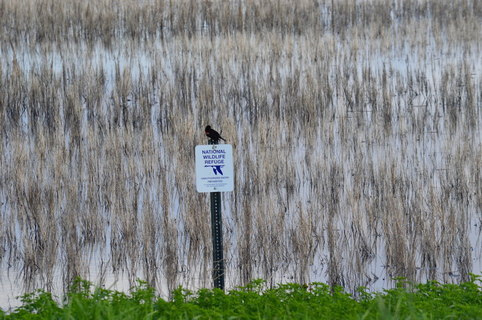 Red-winged blackbird sits atop National Wildlife Refuge Sign