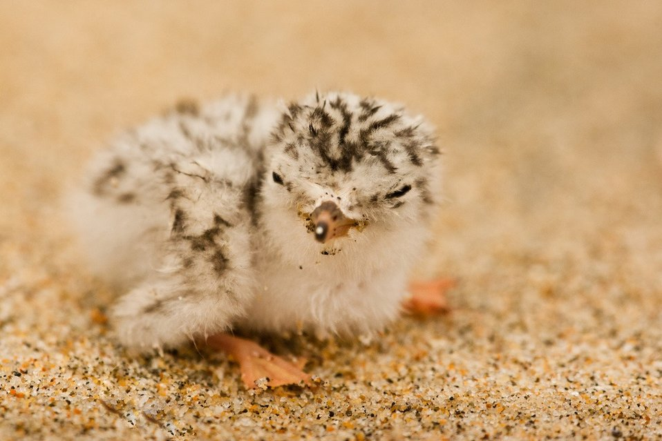 two-day-old chick