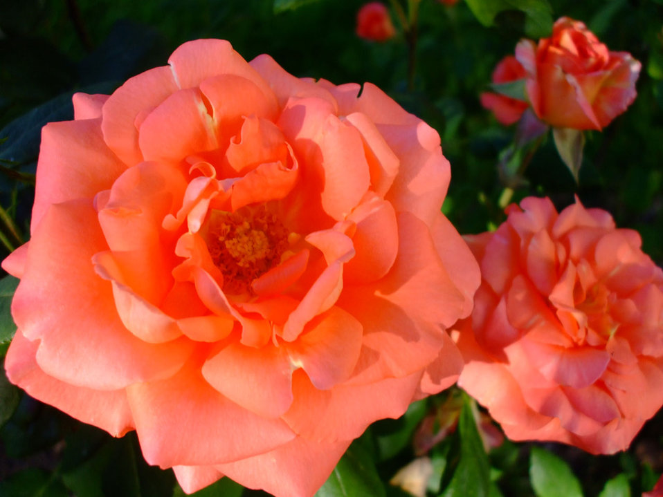 Rose pair