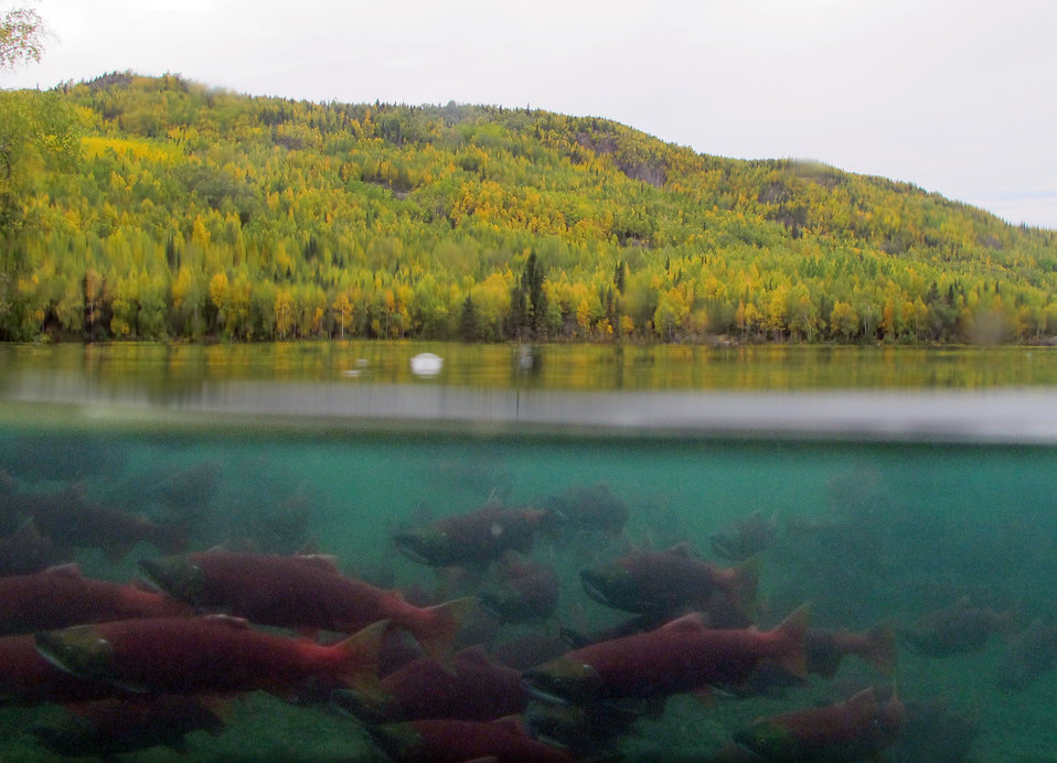Sockeyes schooling in Hidden Lake