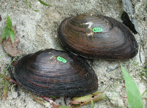 Prozac Exposure Found to Disrupt Mussel Reproduction
