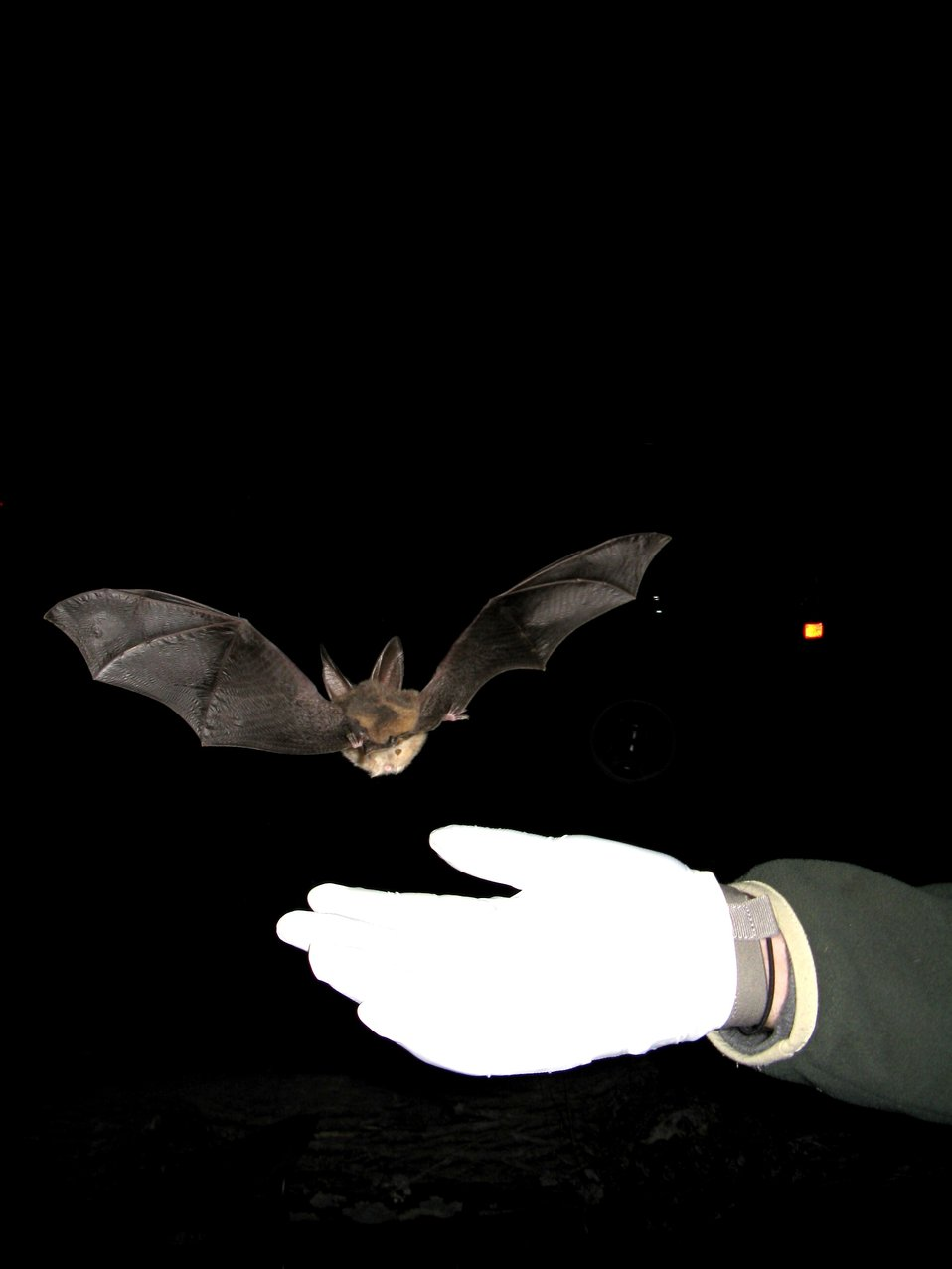 Virginia big-eared bat being released