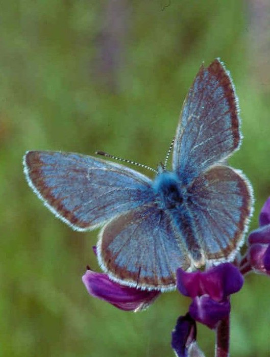 Fender's blue butterfly on lupine