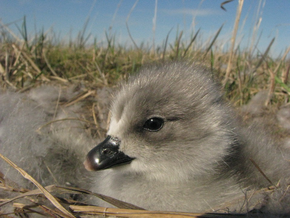 Close up of emperor goose gosling