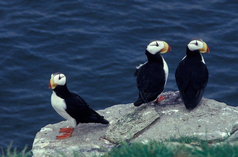 Horned puffin trio, Alaska Maritime NWR