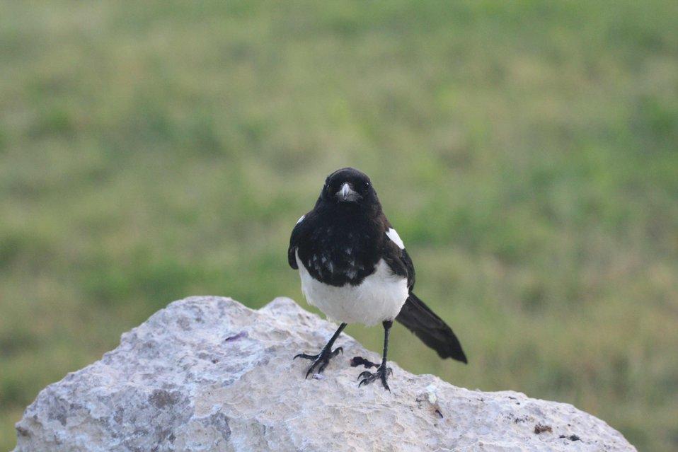 Inquisitive Magpie