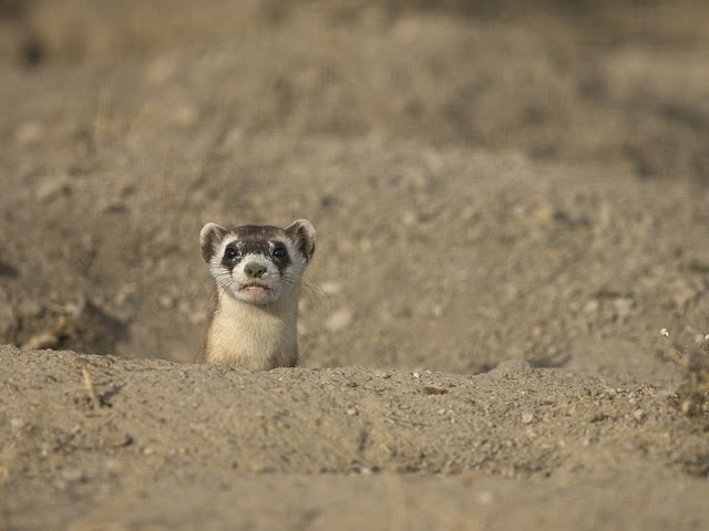 Black-footed Ferret Head