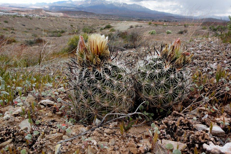 Siler Pincushion Cactus