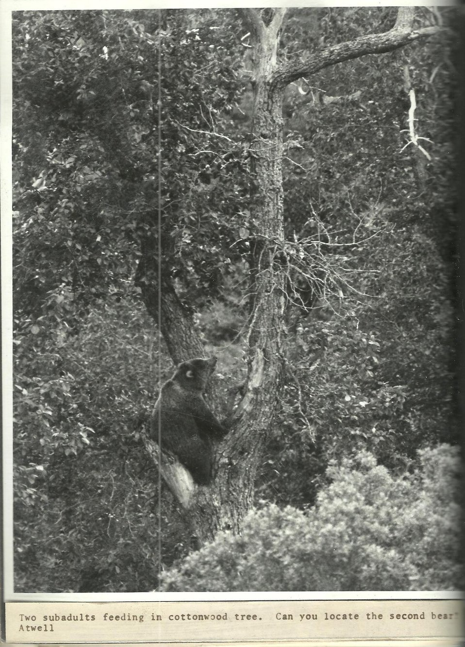(1971) Can You Find the Second Bear