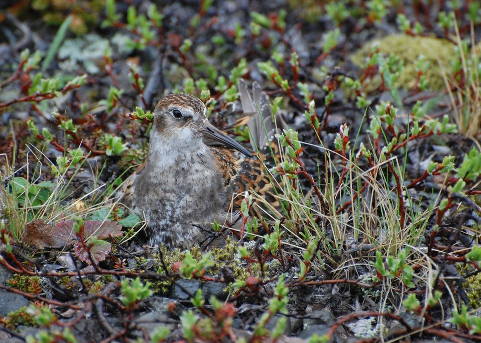 Rock Sandpiper on nest