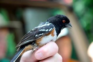 Detail photo of releasing a towhee.