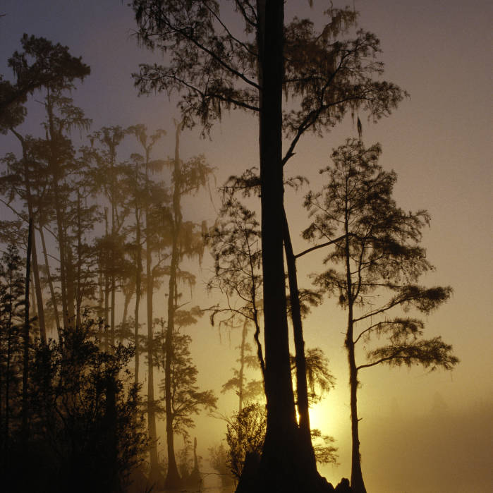 cypress swamp in the mist