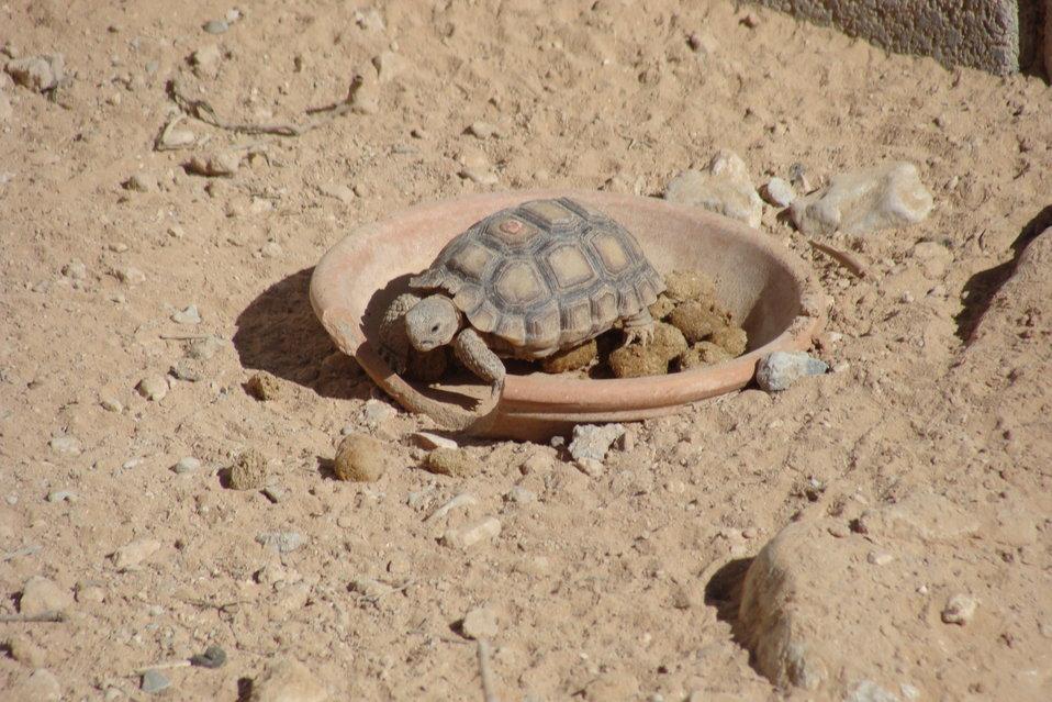 Young Mojave Desert Tortoise