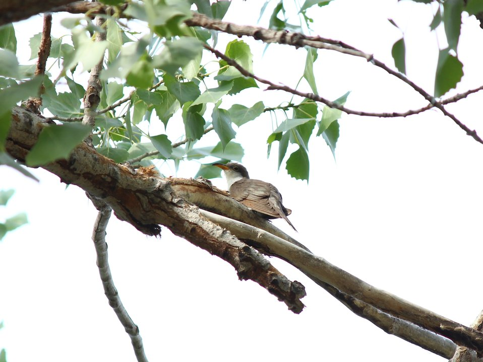 Western yellow-billed cuckoo