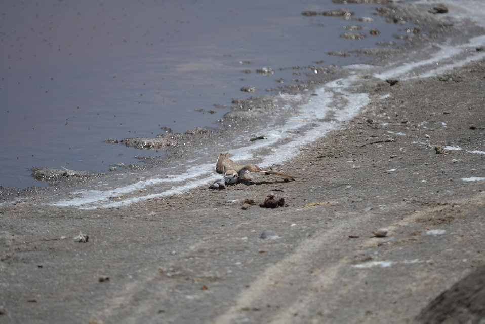 Western snowy plover (Charadrius alexandrinus nivosus) exhibiting the 'broken wing' defense