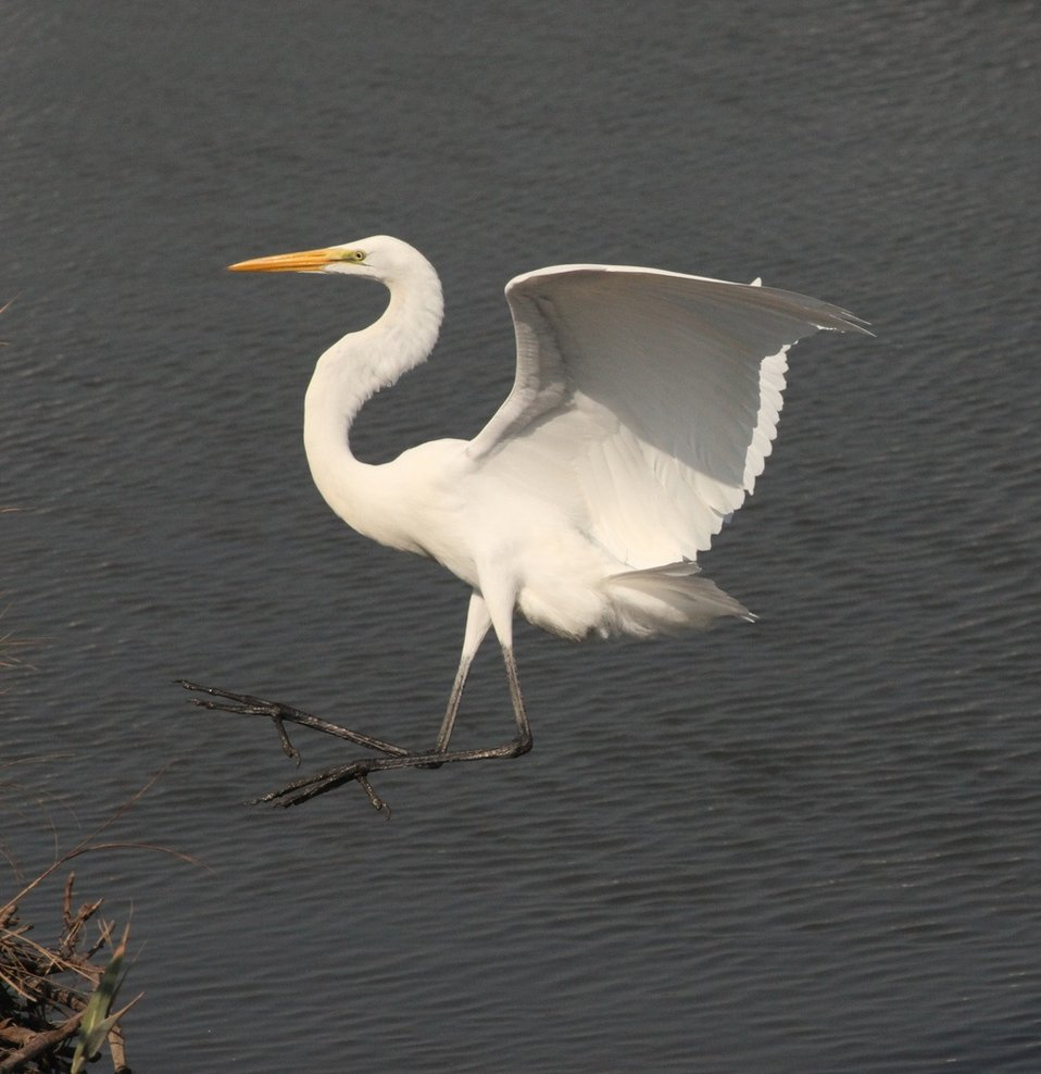 Photo of the Week: Great Egret at Forsythe National Wildlife Refuge