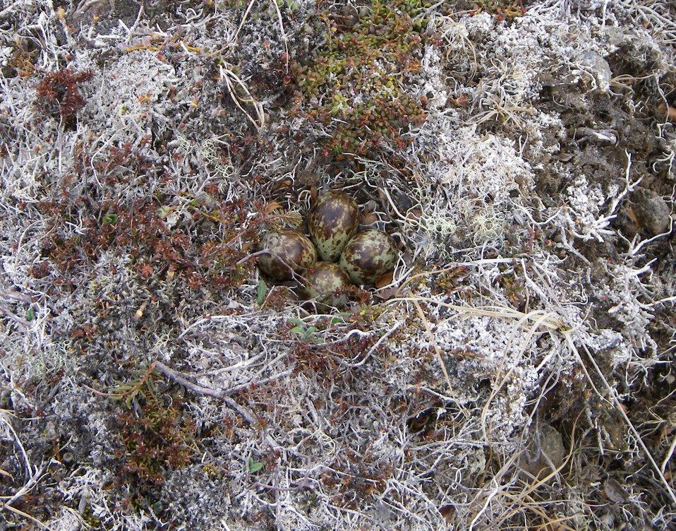 Rock Sandpiper nest