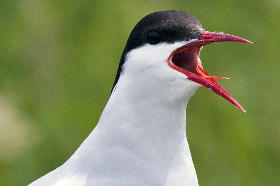 Arctic Tern, petit manan island, maine coastal islands nwr