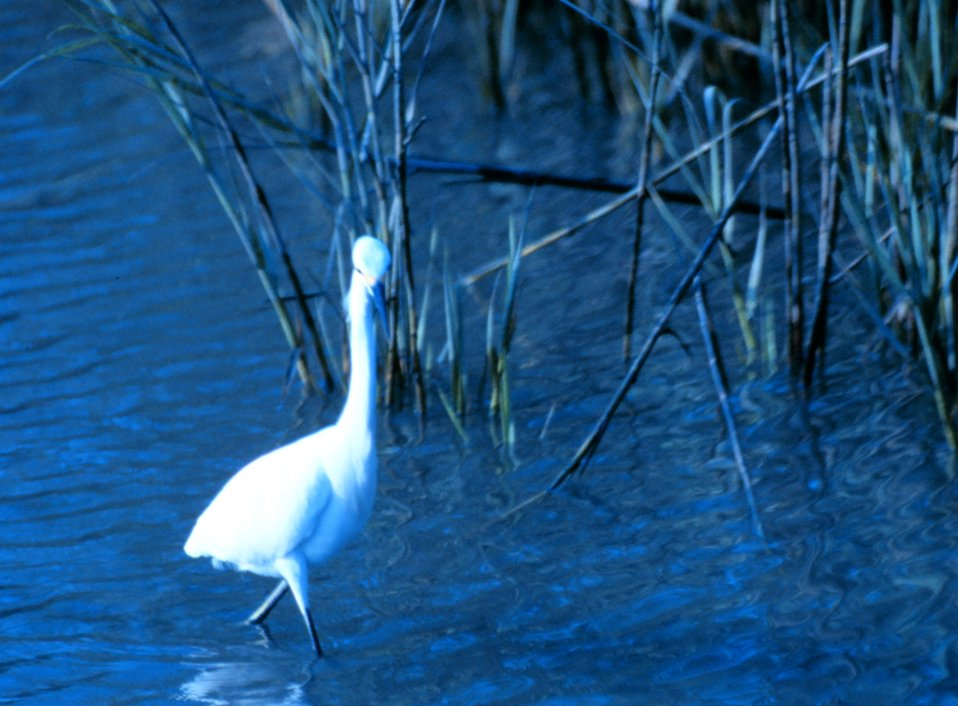 A great white egret in the tidal waters of Charleston harbor.
