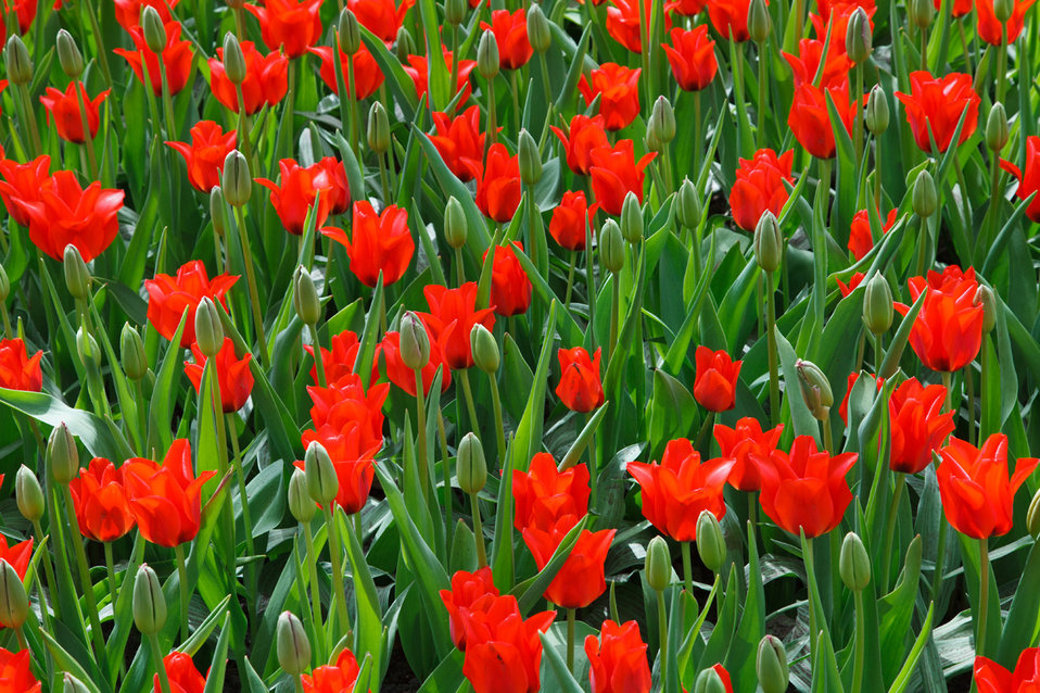 Red and green tulips