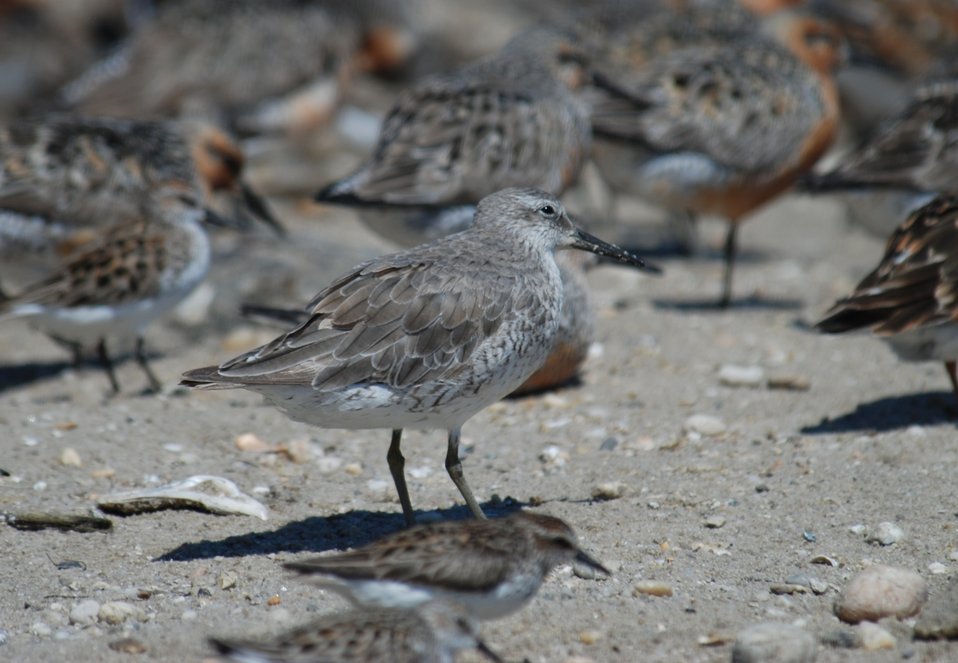 Red Knot Winter Plumage