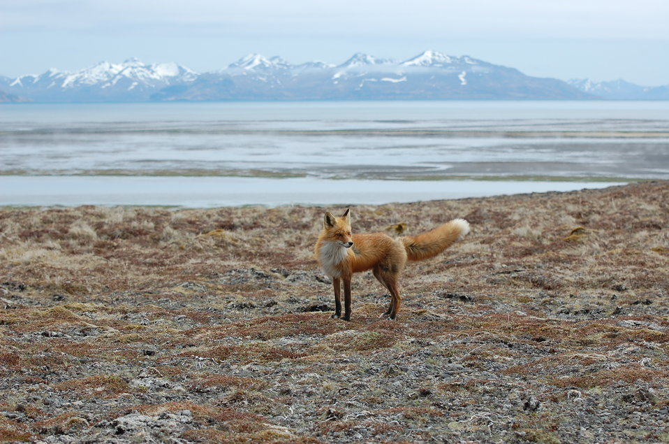 Red Fox at Kinzarof Lagoon