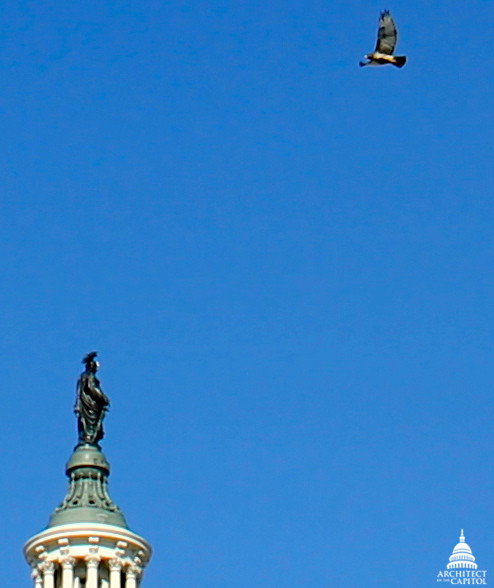 Red-tailed Hawk Flies above Statue of Freedom
