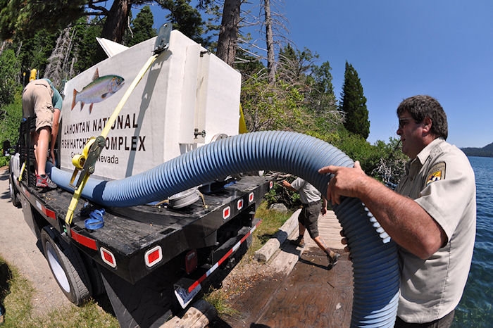 Lahontan cuttroat trout stocking in Tahoe basin area