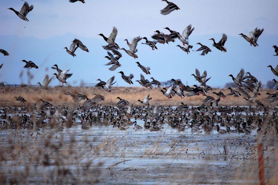 Mallards in the South Platte Area