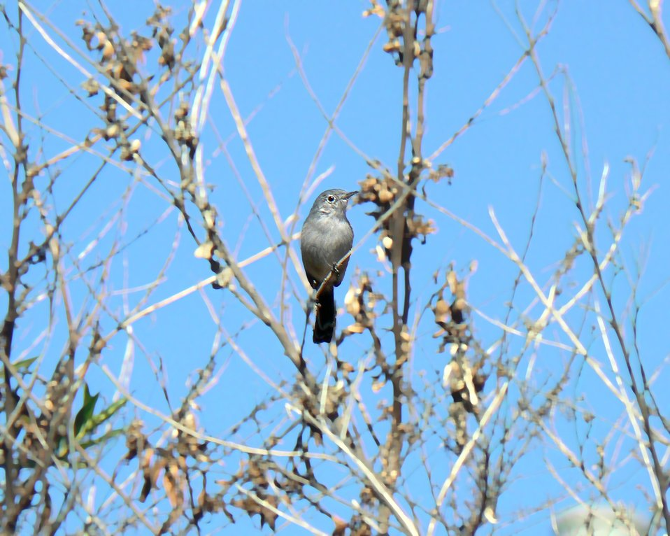 Coastal California Gnatcatcher