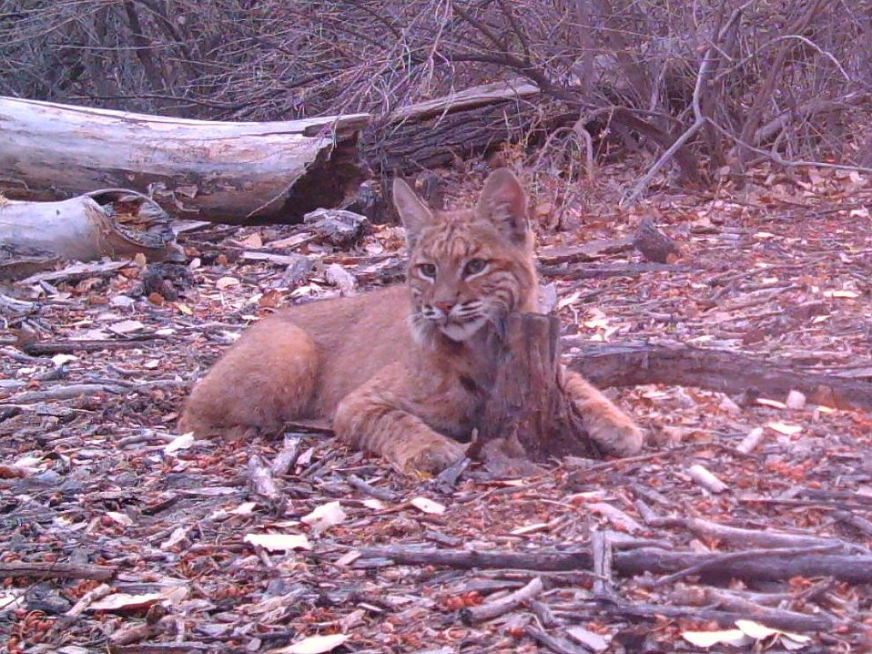 bobcat rubbing scent post