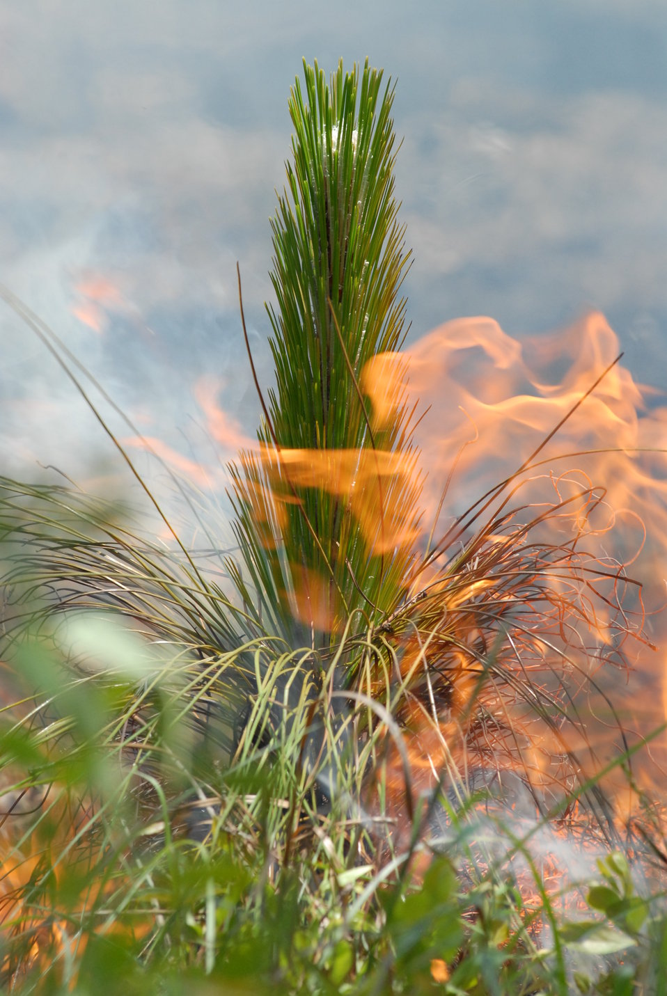 Longleaf pine on fire