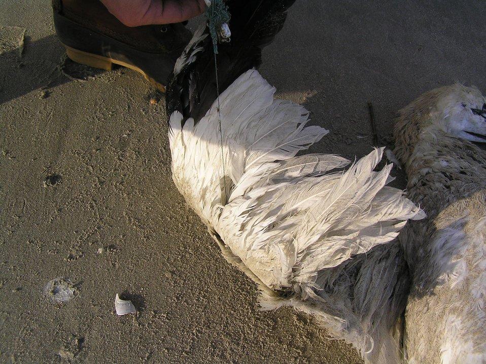 Gannet wing
