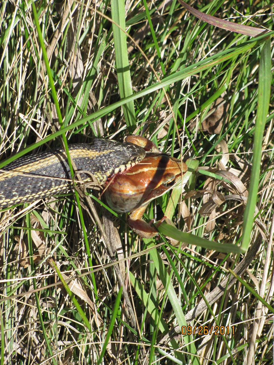 Common Garter Snake eats a Wood Frog