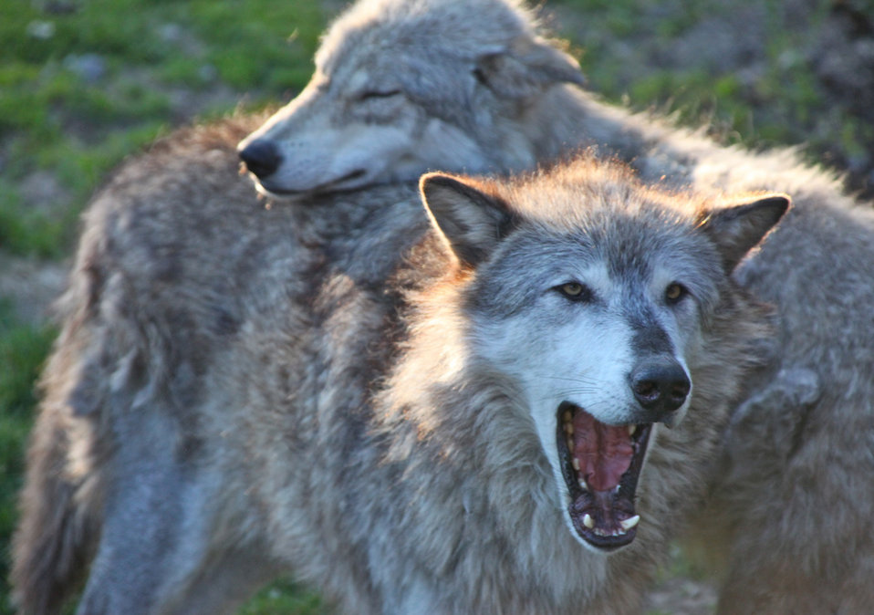 gray wolf pair