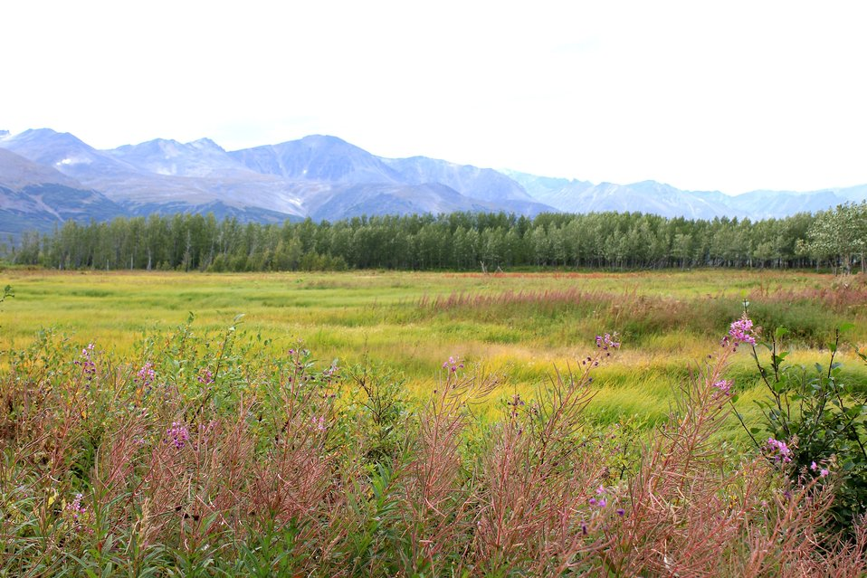 Meadow near Pilgrim Hot Springs with fireweed in foreground.