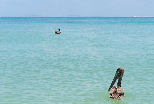 Two Brown Pelicans Released in Florida