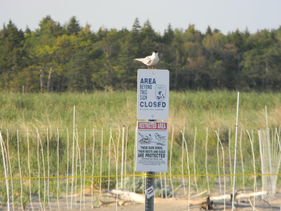 Roseate Tern on Refuge Sign at Rachel Carson National Wildlife Refuge